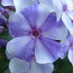 Bio Flammenblume Hoher Stauden-Phlox paniculata 'Gzhel' Gärtnerei Forssman Beste Bio Stauden aus Bayern
