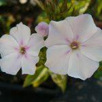 Eigenzüchtung Bio Flammenblume Hoher Stauden Phlox paniculata 'Happy Birthday' per Pflanzenversand online