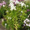 Eigenzüchtung Bio Flammenblume Hoher Stauden Phlox paniculata 'Happy Birthday' Pflanzenversand in Niederbayern Stauden Forssman