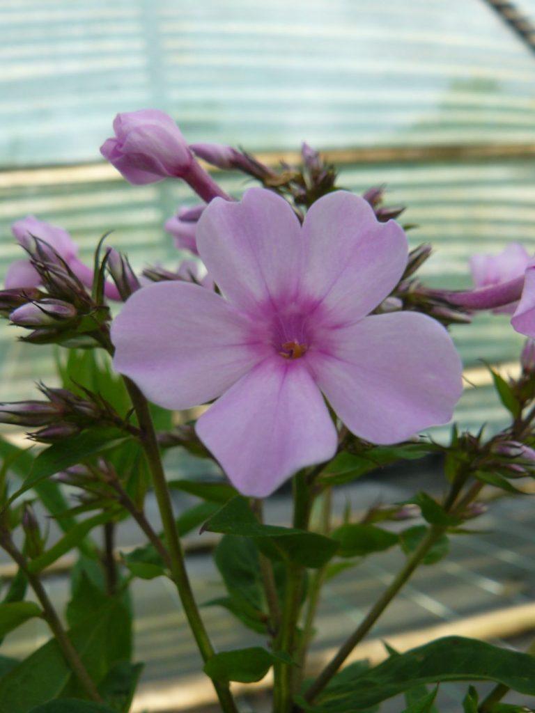 Flammenblume Hoher Stauden Phlox paniculata 'Lichtspeel' Forssman Bio Pflanzenversand in Niederbayern