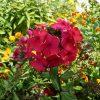 Bio Flammenblume Hoher Stauden Phlox paniculata 'Oktoberrot' (E. Schleipfer) Forssman wählen Sie den Bio Phlox Ihrer Wahl im Online Pflanzen Versand aus fast 300 Sorten.