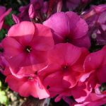 Hoher Stauden Phlox paniculata 'Purple Haze' 300 Sorten Bio Phlox zur Wahl im Online Pflanzen Versand Forssman