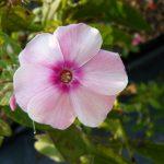Hohe Flammenblume Phlox paniculata 'Sommerkleid' Bio Stauden Forssman