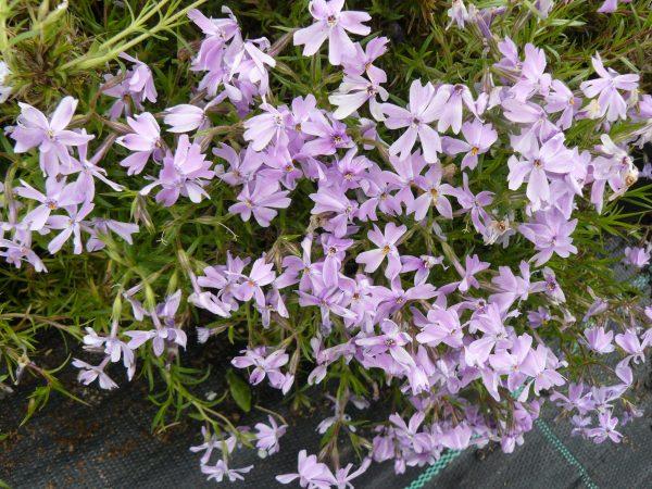 Bio Polster-Phlox subulata 'Emerald Cushion Blue' Bio Pflanzenversand in Niederbayern