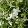 Bio Polster-Phlox subulata 'White Delight' Bio Pflanzenversand in Niederbayern