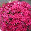 Bio Polster-Phlox subulata 'Zigeunerblut' Bio Pflanzenversand in Niederbayern
