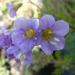 Bio Jakobsleiter Polemonium hyb. 'Lambrock Mauve' Bio Pflanzen Versand Stauden Forssman nahe München