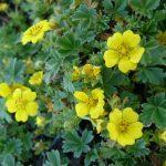 Fingerkraut Potentilla neumanniana 'Nana' Bio Pflanzen Versand Stauden Forssman in Niederbayern