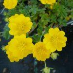Fingerkraut Potentilla neumanniana 'Orange_form' Bio Pflanzen Versand Stauden Forssman in Niederbayern