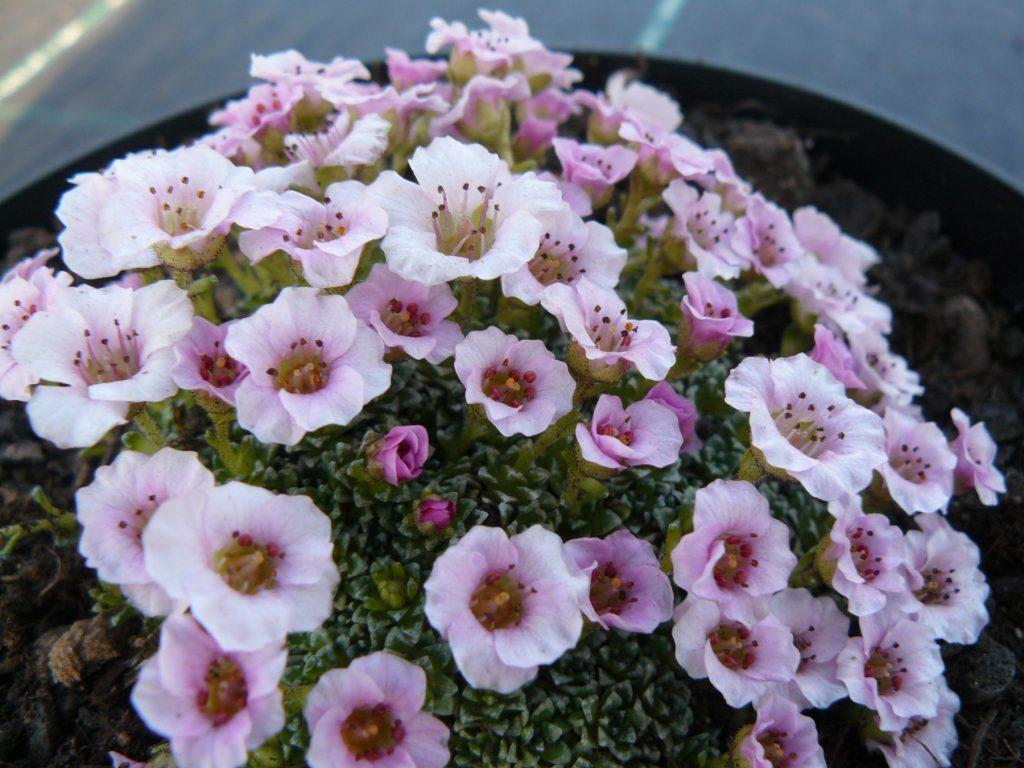 Bio Steinbrech Saxifraga x poluanglica 'Sissi' Bio Pflanzen Versand Stauden Forssman in Niederbayern