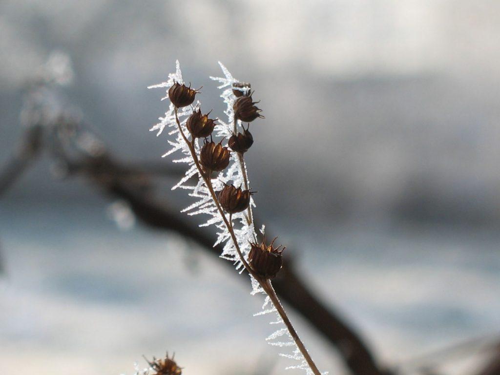 Winteraspekt bei Bio-Stauden-Forssman in Niederbayern. Bestellen Sie ganz bequem Online über unseren Web-Shop unsere Bio-Stauden ( Mittagsblumen, Hauswurz, Phlox, Taglilien, etc.) und Kräuter zur direkten Lieferung zu Ihnen nach Hause.