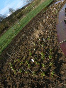 Bepflanzungsbeipiel mit Bio-Stauden der Stauden-Gärtnerei Forssman aus Gangkofen in Niederbayern. Unsere Bio-Stauden (Taglilien, Mittagsblumen, Hauswurz, Phlox etc.) und Bio-Kräuter versenden wir Ihnen ganz bequem zu Ihnen nach Hause, wenn Sie online in unserem Web-Shop bestellen.