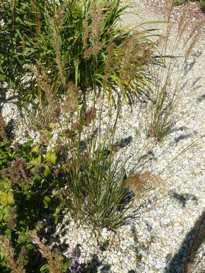 Bio Diamantgras Achnatherum calamagrostis Allgäu Bio Stauden Versand aus Gangkofen in Niederbayern