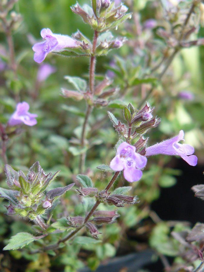 Bio Steinquendel Acinos alpinus (Syn. Calamintha alpina, Satureja alpina)Bio Stauden Versand aus Gangkofen in Niederbayern