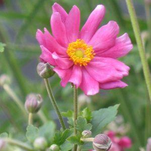 Bio Herbst-Anemone japonica Prinz Heinrich Bio Stauden Versand aus Gangkofen in Niederbayern