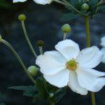 Bio-Herbst-Anemone_x_hybrida_honorine_jobert Staudengärtnerei Forssman Beste Bio Stauden aus Nieder-Bayern Online per Versand