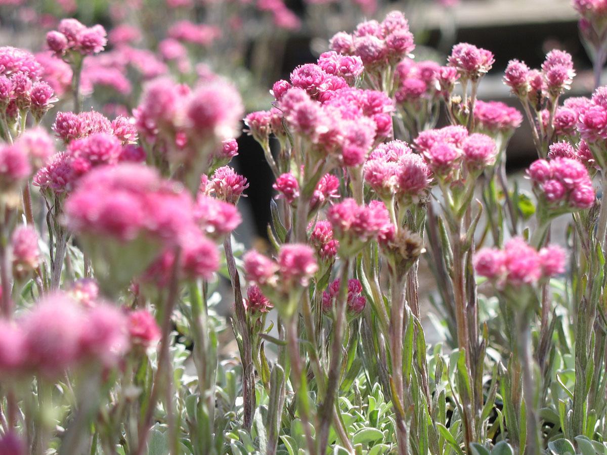 antennaria dioica 39 rotes wunder grau kurz 39 staudeng rtnerei forssman. Black Bedroom Furniture Sets. Home Design Ideas
