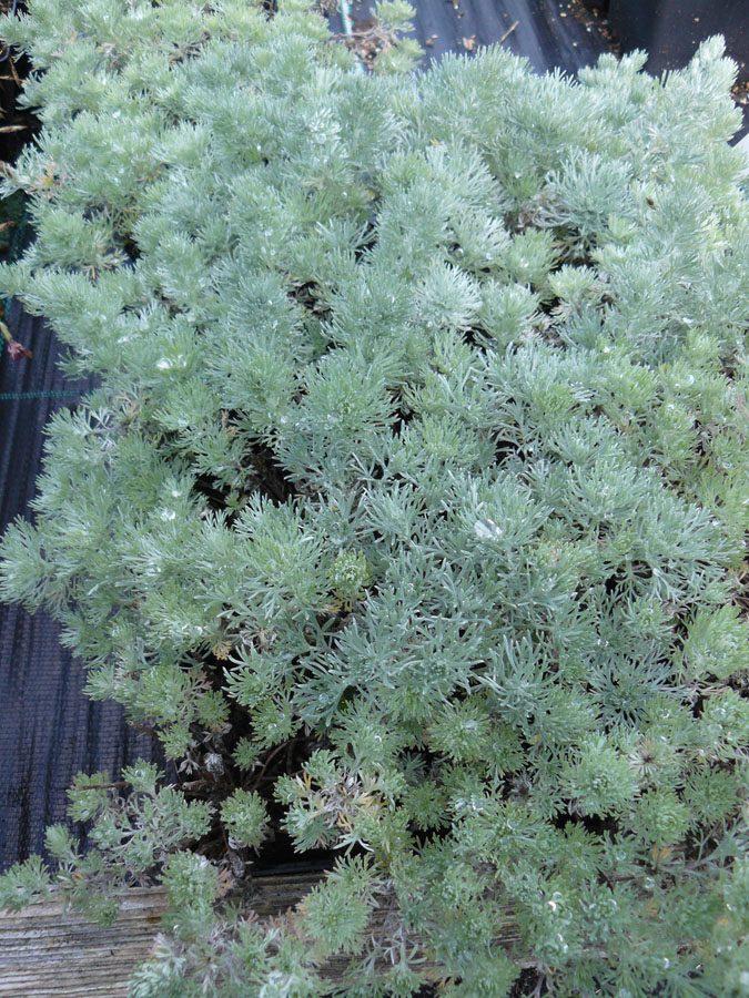 Bio Edelraute Artemisia schmidtiana 'Nana' Bio Stauden Versand aus Gangkofen in Niederbayern