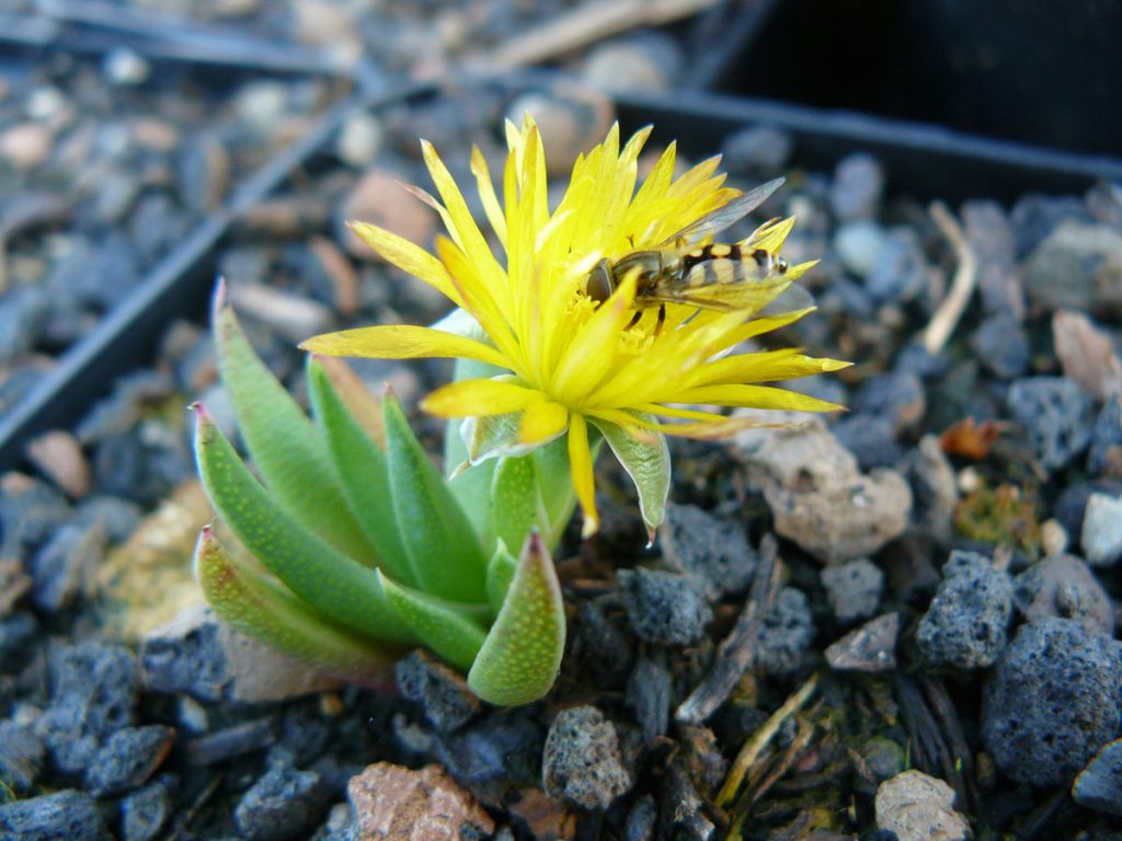 Bio Mittagsblume Bergeranthus Jamesii Beste Bio-Stauden aus Nieder-Bayern im Online-Shop bestellen nach München liefern.