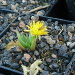 Bio Mittagsblume Bergeranthus_jamesii Bio Stauden Versand aus Gangkofen in Niederbayern