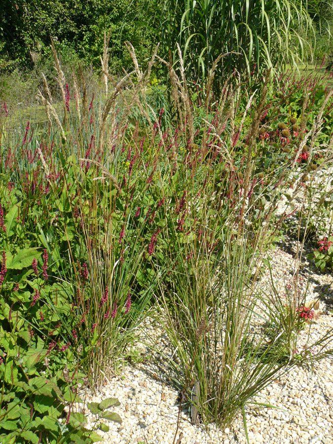 Bio Garten Reitgras Calamagrostis x acutiflora 'Karl Foerster' Bio Stauden Versand Forssman aus Gangkofen in Niederbayern