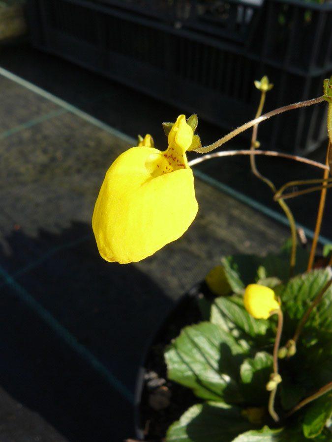 Bio Pantoffelblume Calceolaria biflora Beste Bio Stauden aus Nieder Bayern im Online Shop bestellen nach München liefern.