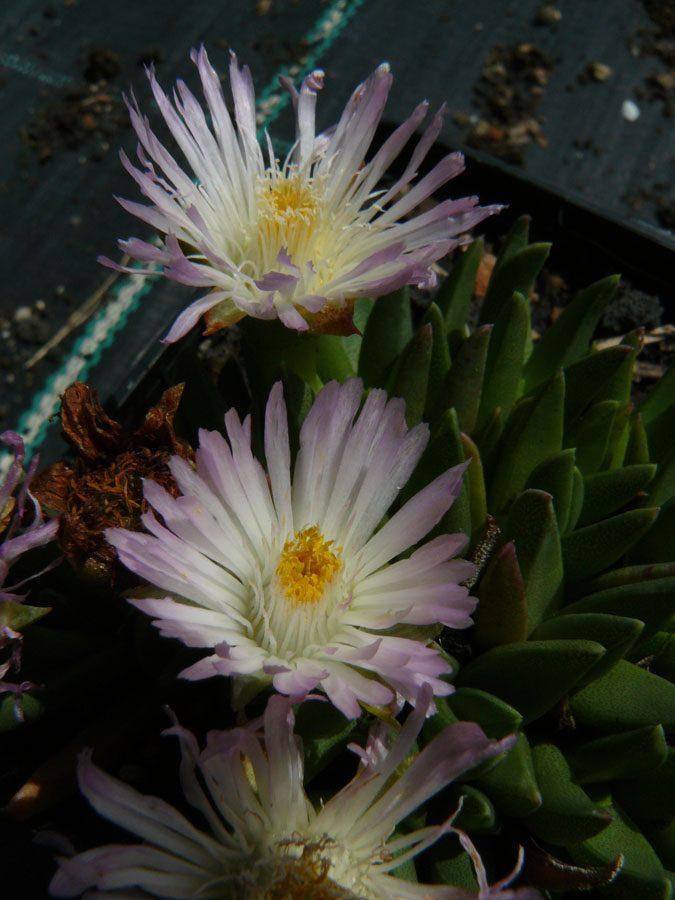 Bio Mittagsblume Delosperma basuticum ex Drakensberge/SA Online bestellen via Versand Bio Stauden nach München geliefert