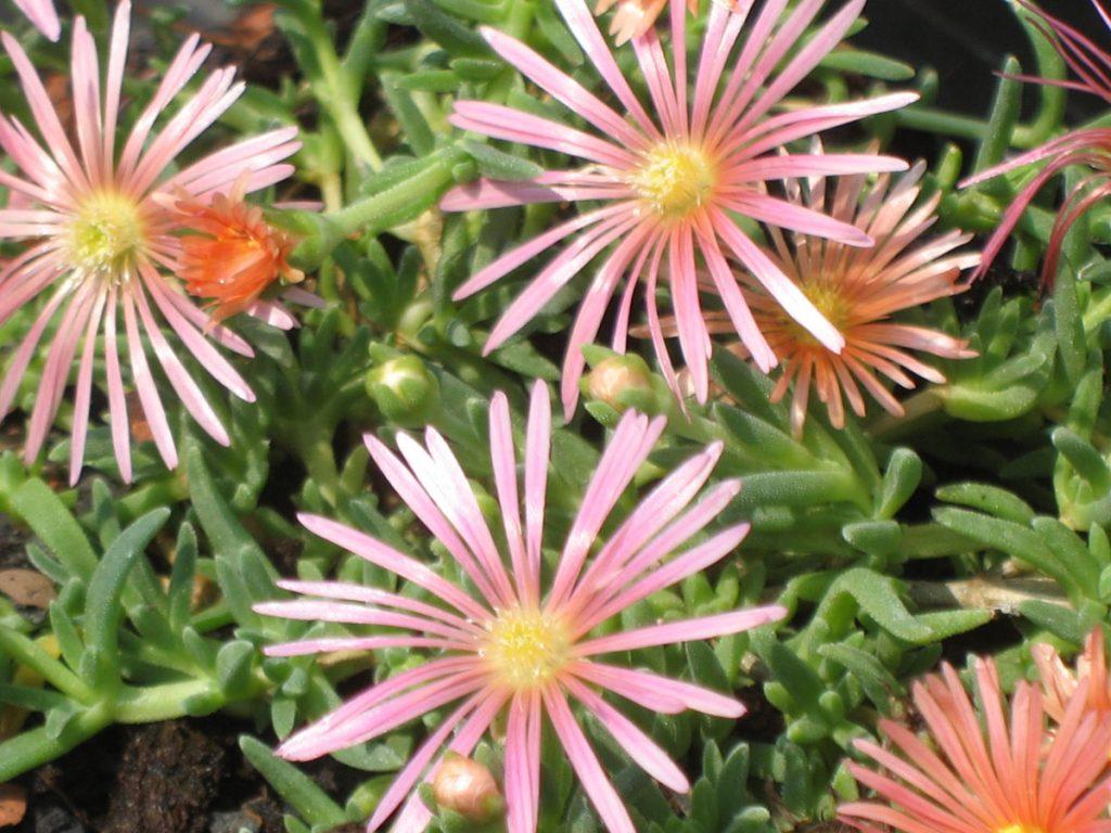 Bio Mittagsblume Delosperma cooperi x nubigenum 'Kelaidis' Online bestellen via Versand Bio Stauden aus Niederbayern geliefert