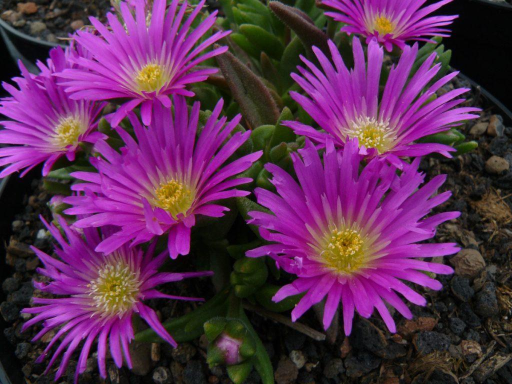 Bio Mittagsblume Delosperma crassuloides Beste Bio Stauden aus Nieder Bayern im Online Shop bestellen nach München liefern