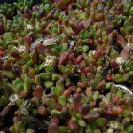 Bio Mittagsblume Delosperma daveyi Beste Bio Stauden aus Bayern kaufen im Online Versand