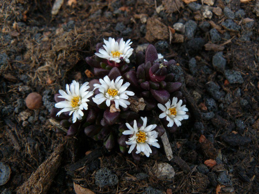 Bio Mittagsblume Delosperma davyi 'Ruby Coral' Online bestellen via Versand Bio Stauden aus Niederbayern geliefert