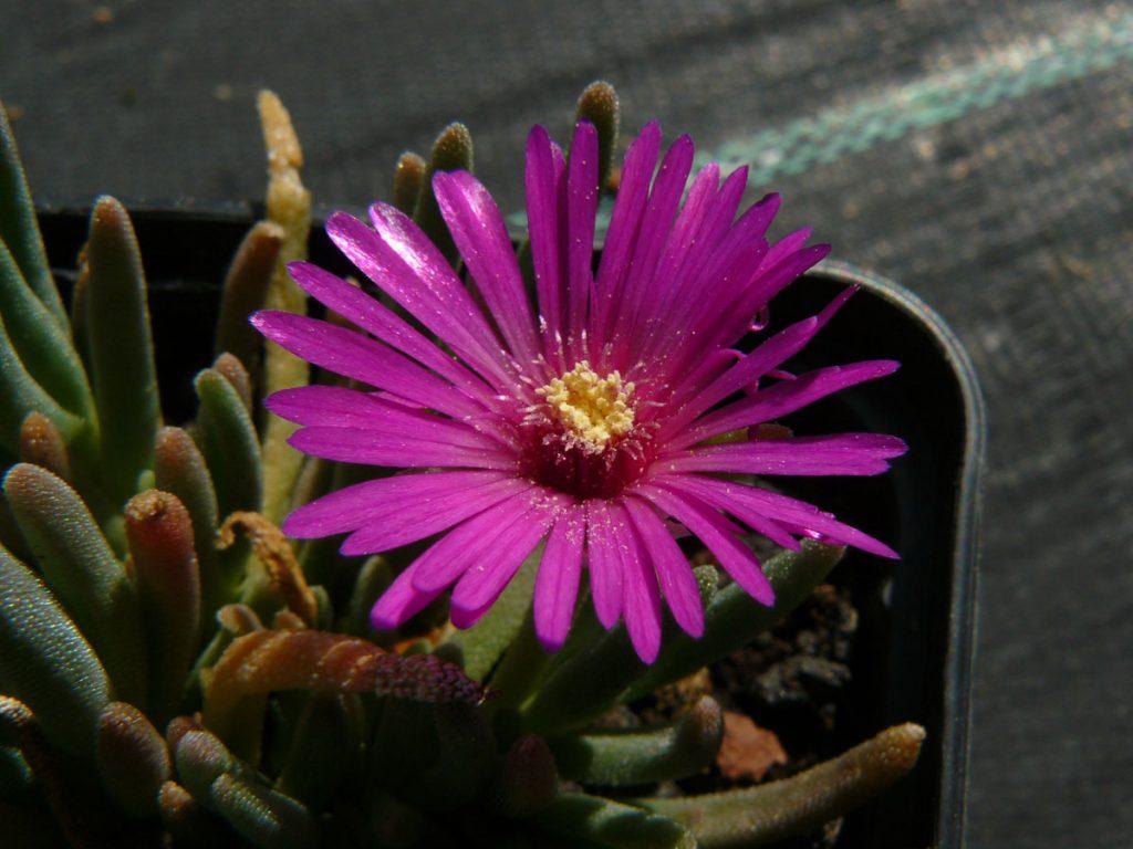 Bio Mittagsblume Delosperma deleeuviae 'Andreas Hofer' wählen Sie die Bio Mittagsblume Ihrer Wahl im Online Pflanzenversand aus über 80 Sorten