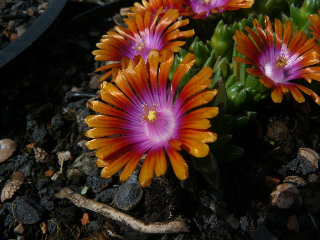 Bio Mittagsblume Delosperma dyerii ex Tarkastad ('Firespinners') Online bestellen via Versand Bio Stauden aus Niederbayern geliefert