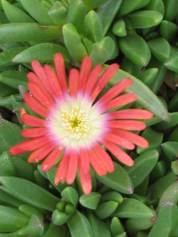 Bio Mittagsblume dyerii var. laxum ('Red Mountain'/Eugen Schleipfer) wählen Sie die Bio Mittagsblume Ihrer Wahl im Online Pflanzen Versand aus über 80 Sorten