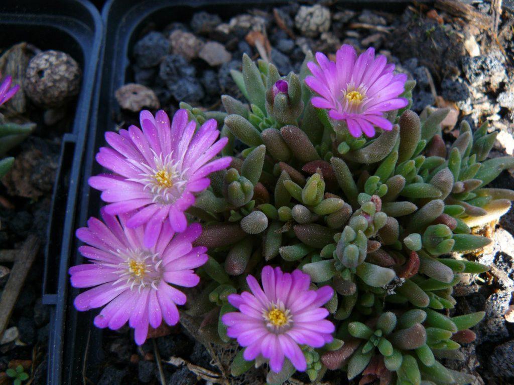 Bio Mittagsblume Delosperma hispidum x Beaufort West 'Kirsche' (Eugen Schleipfer) wählen Sie die Bio Mittagsblume Ihrer Wahl im Online Pflanzen Versand aus über 80 Sorten