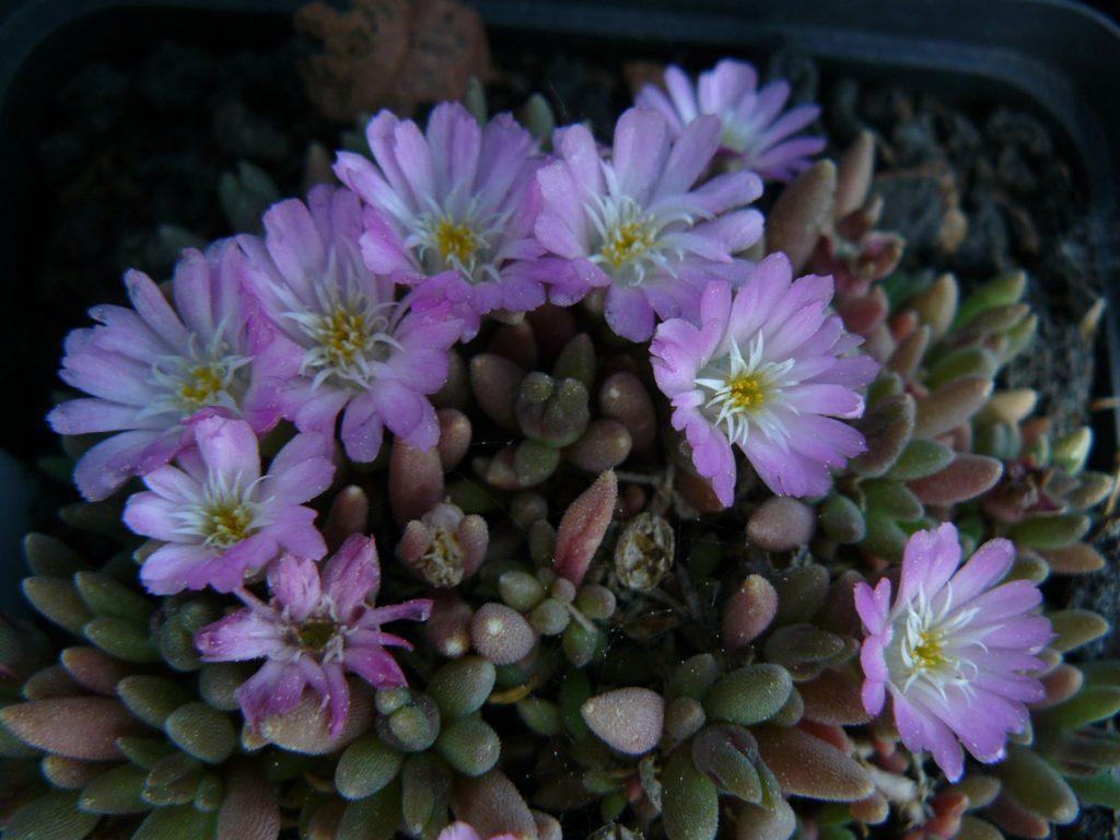 Bio Mittagsblume Delosperma luckhoffii 'Beaufort West' wählen Sie die Bio Mittagsblume Ihrer Wahl im Online Pflanzen Versand aus über 80 Sorten