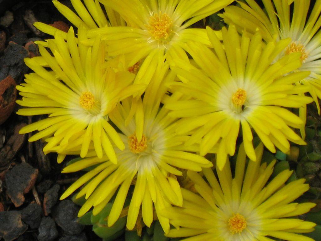 Bio Mittagsblume Delosperma nubigenum (Typ 2, Sani - Pass, ZA) Online fast 100 Sorten Mittagsblumen im Bio Pflanzen Versand Forssman bestellen