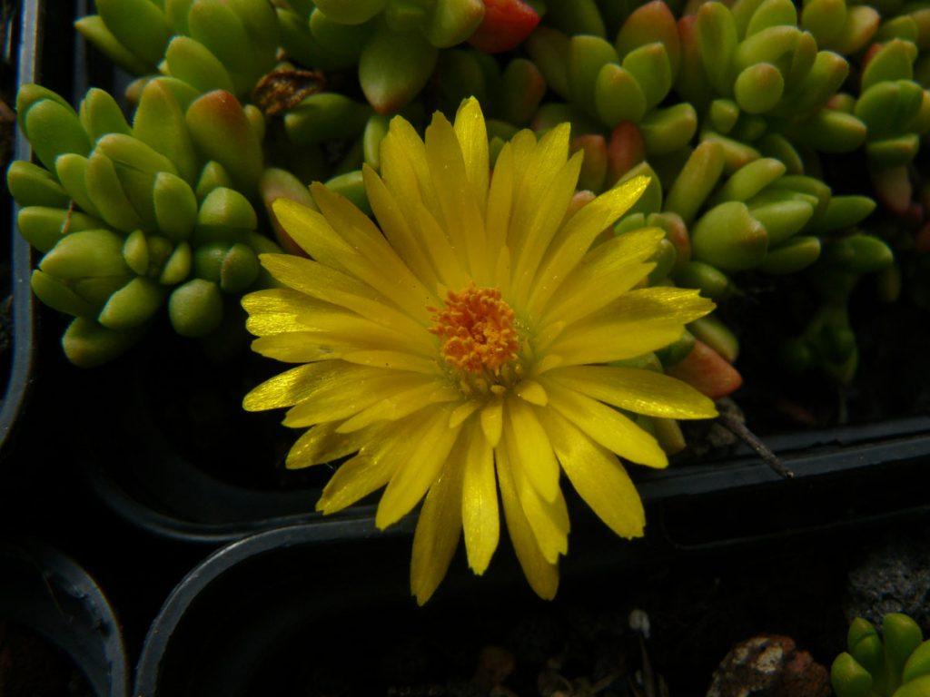 Bio Mittagsblume Delosperma nubigenum 'Thaba Tseka' wählen Sie die Bio Mittagsblume Ihrer Wahl im Online Pflanzen Versand aus über 80 Sorten.
