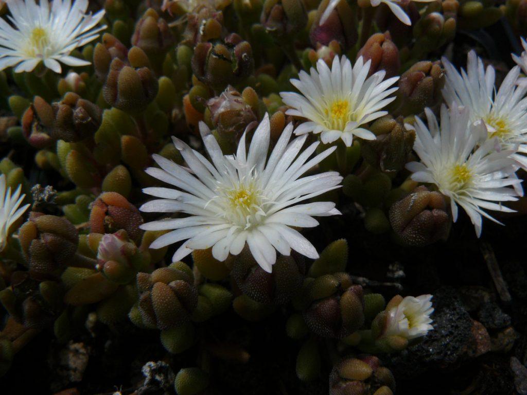 Bio Mittagsblume Delosperma karooicum 'Graaf Reinet' Beste Bio Stauden aus Niederbayern im Online Shop bestellen nach München liefern.