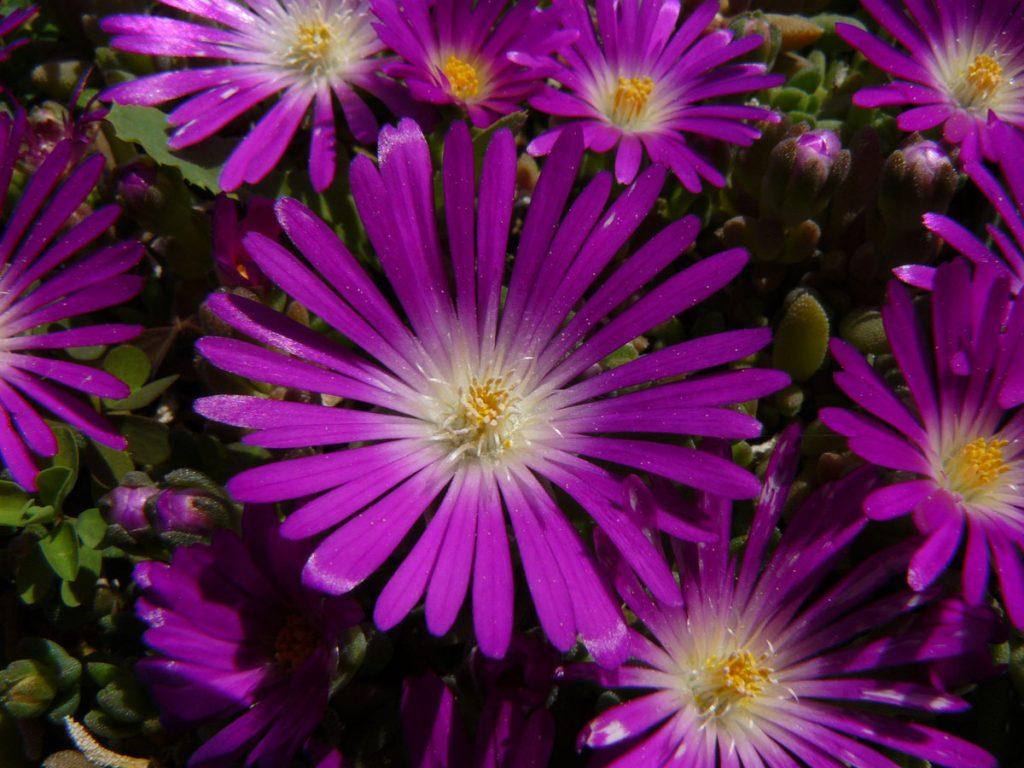 Bio Mittagsblume Delosperma speciosum 'Letseng' (Diamantmine) wählen Sie die Bio Mittagsblume Ihrer Wahl im Online Pflanzen Versand aus über 80 Sorten.