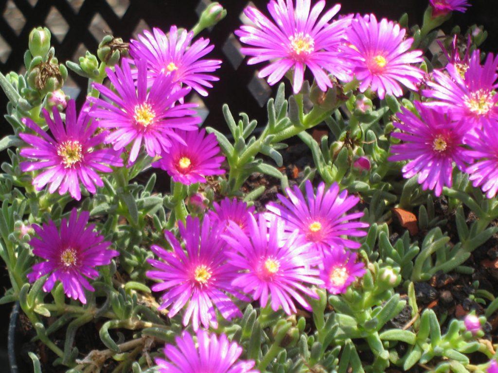 Bio Mittagsblume Delosperma speciosum (Josef Halda) wählen Sie die Bio Mittagsblume Ihrer Wahl im Online Pflanzen Versand aus über 80 Sorten.