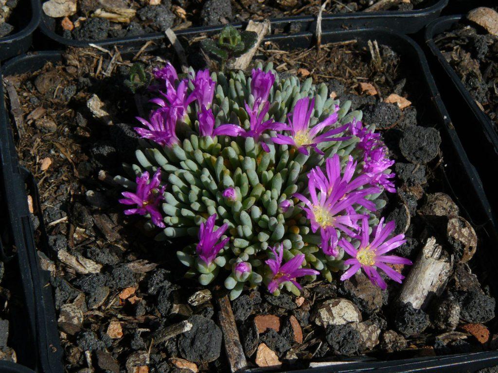 Bio Mittagsblume Delosperma sphalmanthoides wählen Sie die Bio Mittagsblume Ihrer Wahl im Online Pflanzen Versand aus über 80 Sorten.