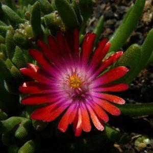Eigenzüchtung Bio Mittagsblume Delosperma x aberdeenense 'Dennis Goldberg' wählen Sie die Bio Mittagsblume Ihrer Wahl im Online Pflanzen Versand aus über 80 Sorten.