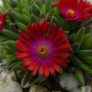 Eigenzüchtung Bio Mittagsblume Delosperma x aberdeenense 'Goven Mbeki' Online fast 100 Sorten Mittagsblumen im Bio Pflanzen Versand bestellen.