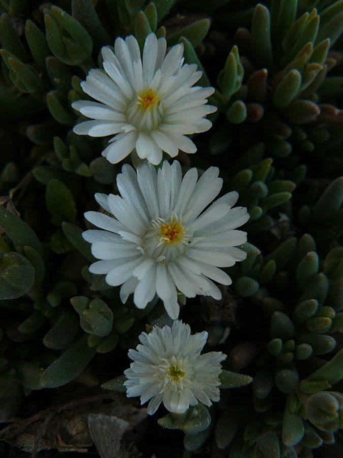 Eigenzüchtung Bio Mittagsblume Delosperma x aberdeenense 'Joe Slovo' Online fast 100 Sorten Mittagsblumen im Bio Pflanzen Versand bestellen.