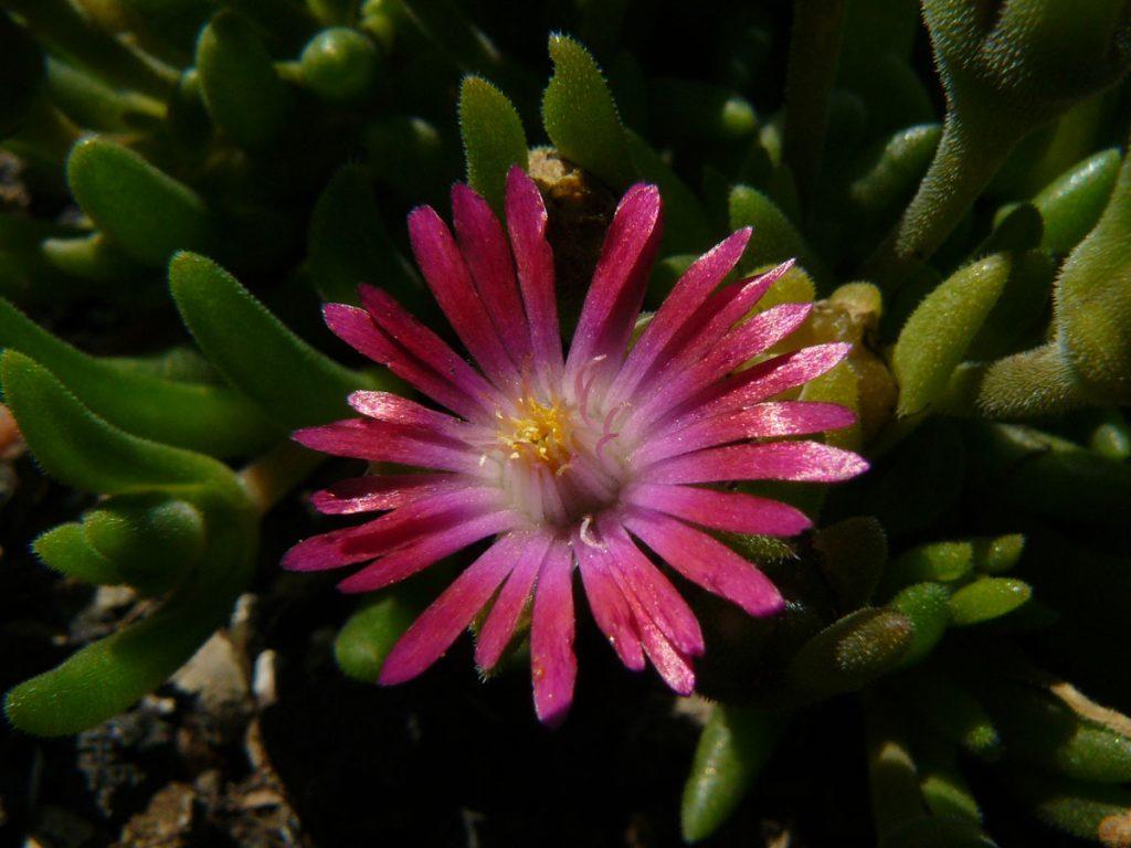 Eigenzüchtung Bio Mittagsblume Delosperma x aberdeenense 'Walter Sisulu' Online fast 100 Sorten Mittagsblumen im Bio Pflanzen Versand bestellen.