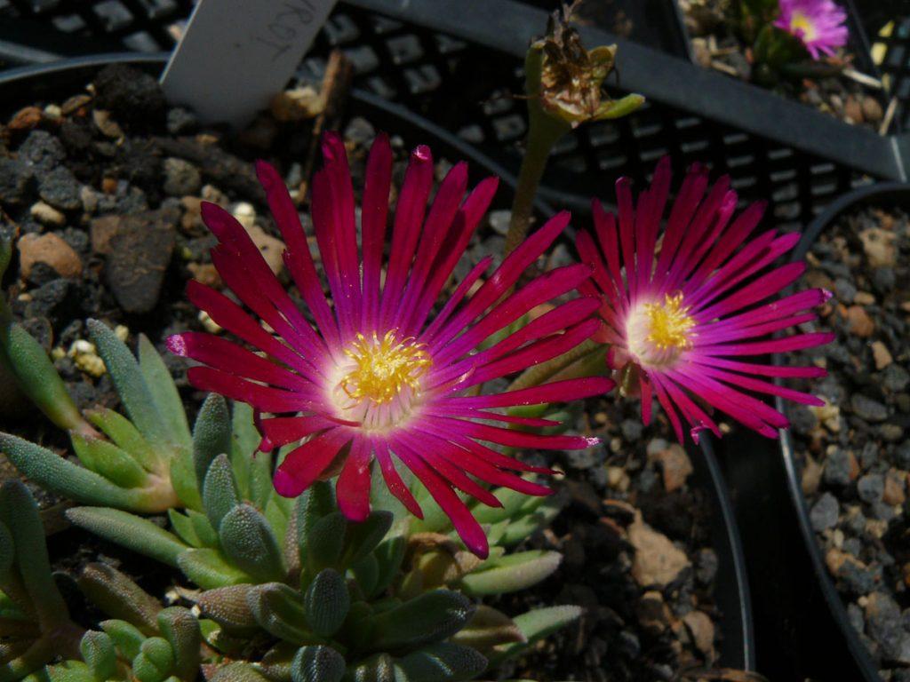 Eigenzüchtung Bio Mittagsblume Delosperma x Beaufort West 'Albertina Sisulu' (25-15) wählen Sie die Bio Mittagsblume Ihrer Wahl im Online Pflanzen Versand aus über 80 Sorten.