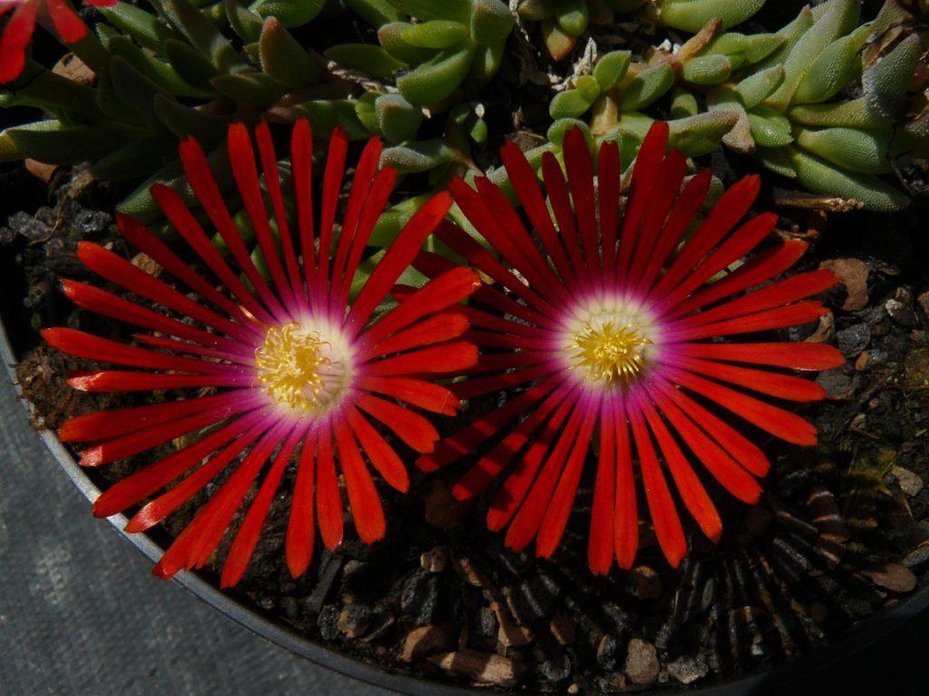 Eigenzüchtung Bio Mittagsblume Delosperma x dyerii 'Elias Motsoaledi' (33-15) wählen Sie die Bio Mittagsblume Ihrer Wahl im Online Pflanzen Versand aus über 80 Sorten.