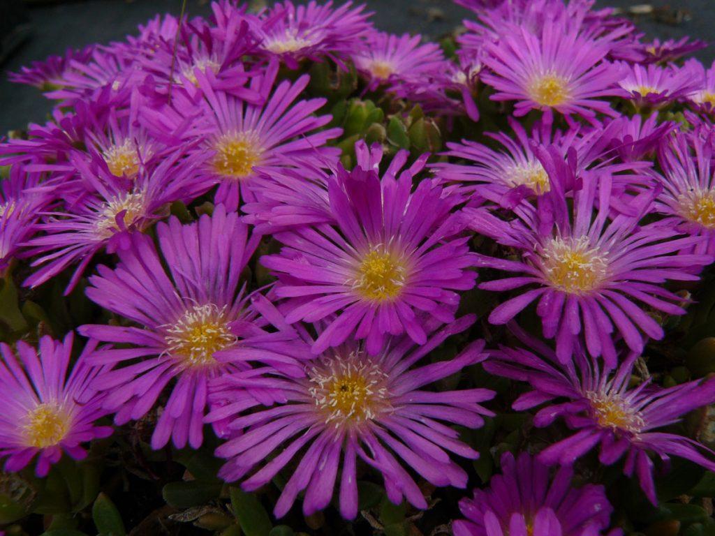 Bio Mittagsblume Delosperma hyb. 'First Love' Online im Pflanzen Versand beste Bio Qualität bestellen.