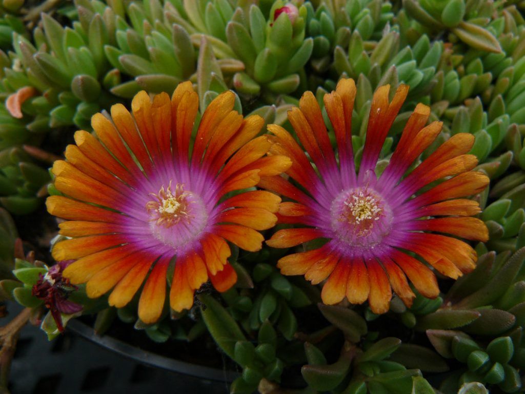 Bio Mittagsblume Delosperma hyb. 'Kelly Grummons' ('Firespinner') wählen Sie die Bio Mittagsblume Ihrer Wahl im Online Pflanzen Versand aus über 80 Sorten.